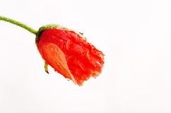 Amapola coloreada rojo imagen de archivo libre de regalías