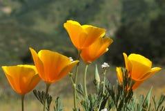 Amapola de California Fotos de archivo libres de regalías