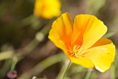 Amapola de California Foto de archivo