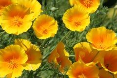 Amapola de California amarilla fotografía de archivo libre de regalías