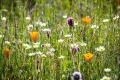 Amapola de California (californica de Eschscholzia), búho \ 'trébol de s (exserta del Castilleja) y floración poner crema de las  imágenes de archivo libres de regalías