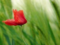 Amapola de campo en viento Imagen de archivo libre de regalías
