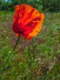 Amapola de campo roja Foto de archivo libre de regalías