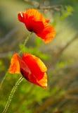 Amapola de dos rojos Fotografía de archivo libre de regalías