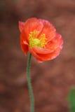 Amapola de jardín anaranjada Imagenes de archivo