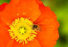 Amapola de la abeja Imagenes de archivo