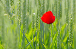 Amapola de maíz en campo de trigo Fotos de archivo libres de regalías