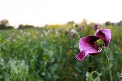 Amapola de opio Foto de archivo libre de regalías