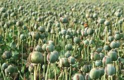 Amapola de opio imágenes de archivo libres de regalías