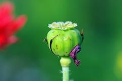 Amapola de opio imagen de archivo