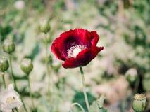 Amapola de opio Imagen de archivo libre de regalías