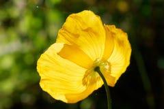 Amapola de opio amarilla Imagen de archivo libre de regalías
