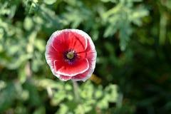Amapola de opio en Chiang Mai Foto de archivo
