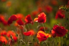 Amapola de opio - macro Fotos de archivo