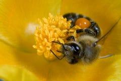 Amapola del amarillo del insecto de la abeja   Foto de archivo libre de regalías