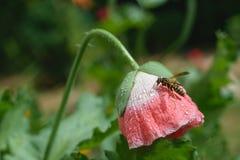 Amapola del rojo de la flor Foto de archivo