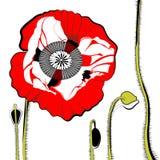 Amapola del rojo del vector Imagen de archivo libre de regalías