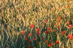 Amapola en campo de maíz Fotografía de archivo