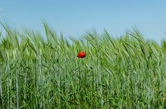 Amapola en campo de trigo Foto de archivo libre de regalías
