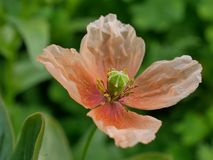 Amapola en el jardín fotografía de archivo libre de regalías