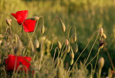 Amapola en hierba Foto de archivo libre de regalías