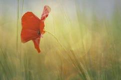 Amapola en la floración Fotos de archivo libres de regalías