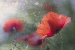 Amapola en la floración Fotografía de archivo