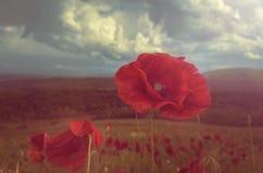 Amapola en la floración Imagen de archivo