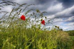 Amapola en la hierba contra el cielo nublado Imagen de archivo
