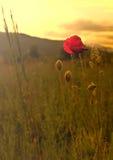 Amapola en la puesta del sol Imagen de archivo libre de regalías