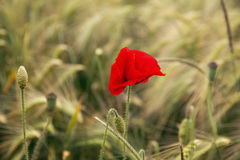 Amapola en un campo de la cebada Fotografía de archivo