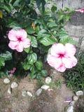 Amapola flower. Big flower, beatiful, love royalty free stock photos