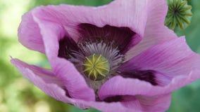 Amapola hermosa de la lila de los campos fotografía de archivo