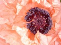 Amapola oriental rosa-salmón   Foto de archivo libre de regalías