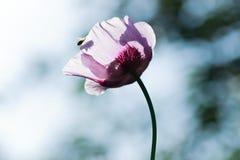 Amapola púrpura Imágenes de archivo libres de regalías