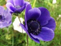 Amapola púrpura Fotografía de archivo libre de regalías