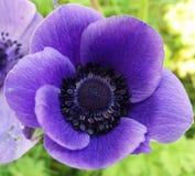 Amapola púrpura Imagenes de archivo