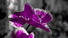 Amapola púrpura en un fondo negro El insecto agita alrededor de la flor Poniendo en contraste, color amarillo en un fondo negro almacen de metraje de vídeo