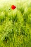 Amapola rodeada por la hierba verde fotografía de archivo libre de regalías
