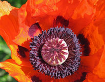 Amapola roja Fotos de archivo libres de regalías