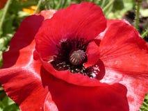 Amapola roja Fotos de archivo