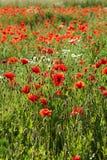 Amapola roja Imagen de archivo libre de regalías