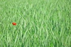 Amapola roja. Imagenes de archivo