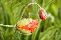 Amapola roja Foto de archivo