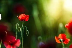 Amapola roja Fotografía de archivo libre de regalías
