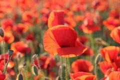 Amapola roja Imagenes de archivo
