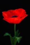 Amapola roja borrosa en un fondo oscuro Imágenes de archivo libres de regalías