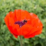 Amapola roja con la abeja Fotografía de archivo