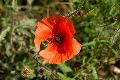 Amapola roja con una abeja Fotos de archivo libres de regalías