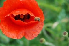 Amapola roja con una abeja Fotos de archivo